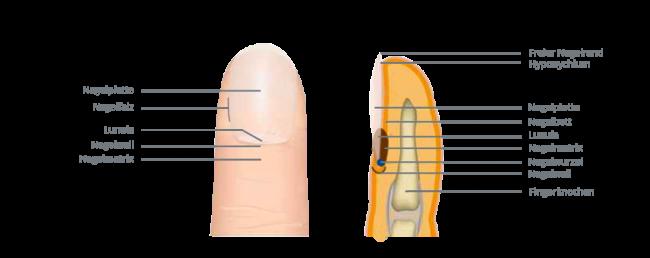 aufbau-des-fingernagels